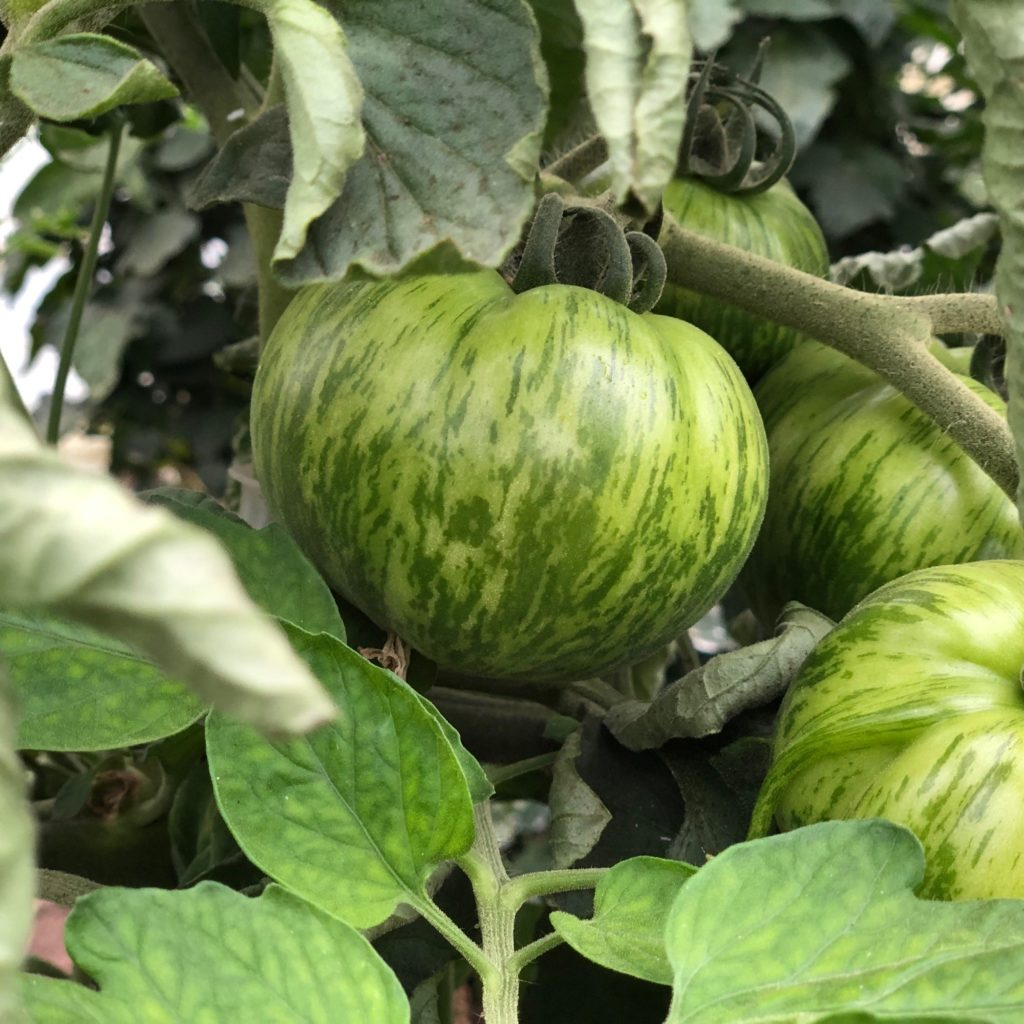 Bio- Tomate Green Zebra