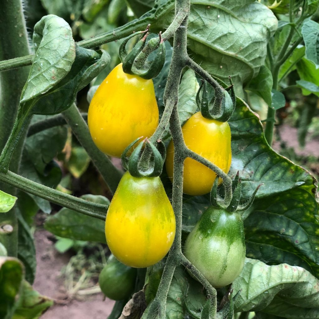 Bio- Tomate Yellow Submarine
